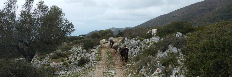 Mehrere Kühe unterwegs auf einem Feldweg in ihrem Weidegebiet- gesehen auf einer individuellen Wanderung in Süd-Italien