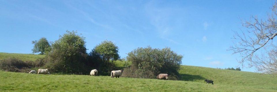 Blick auf eine große Grünfläche auf der mehrere Bäume und Schafe zu sehen sind - gesehen auf einer individuellen Wanderung in England