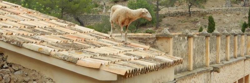 Ein Schaf steht auf dem Dach eines Hauses - gesehen während der Wanderung durch die Serra de Tramuntana auf Mallorca