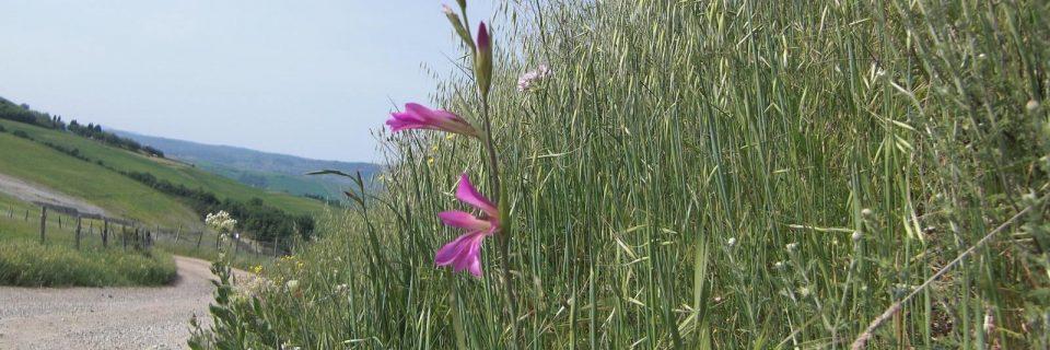 eine lilafarbene Blume zwischen hohen Gräsern - gesehen auf einer individuellen Wanderung in der Toskana
